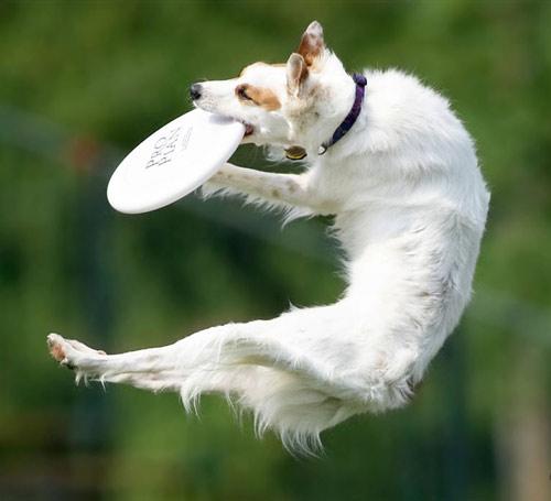 white-frisbee-dog